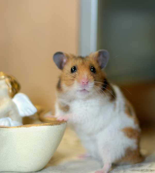 le hamster Hamste16