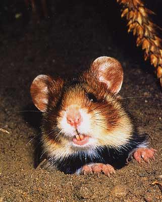 le hamster Hamste19