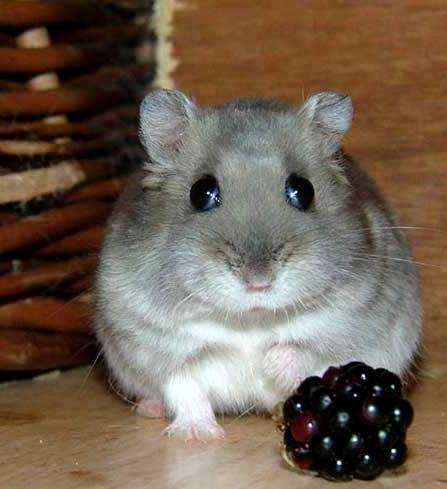 le hamster Hamste23