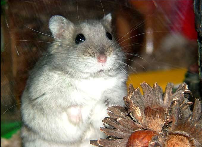 le hamster Hamste26