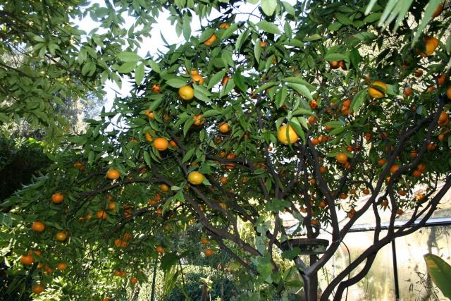 Mandarines Citrus10