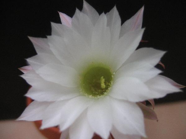 Echnopis.subdenudata Img_1811