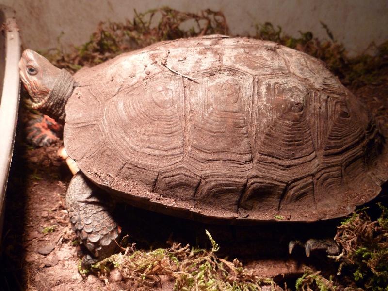 clichés Rhinoclemmys pulcherrima incisa! P1000014