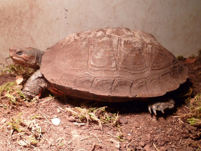 clichés Rhinoclemmys pulcherrima incisa! P1000016