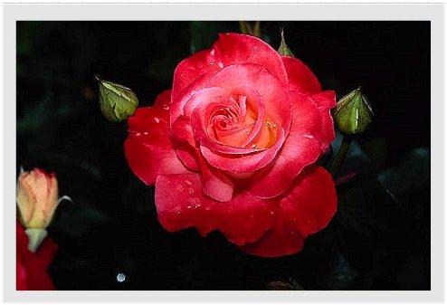 Unis dans la prière pour Titi et tous les siens... Rose_r10