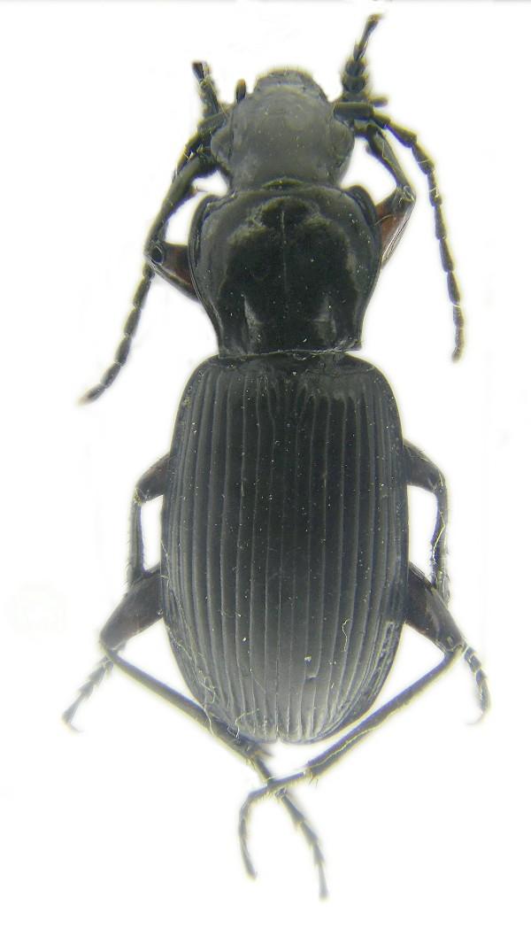 [P.(Pterostichus) cristatus femoratus]Pterosti indéterminé Pteros10