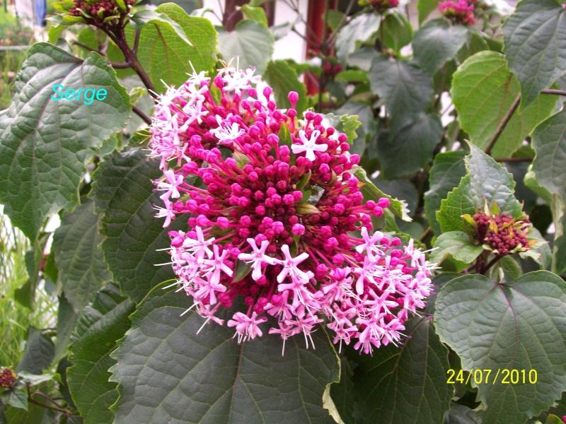 arbustre a fleurs 100_3321