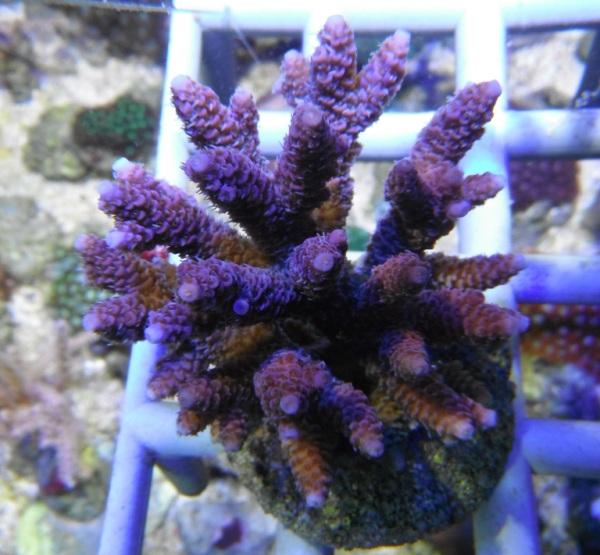 Arrivage coraux reeflab Coraux12