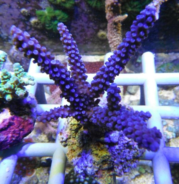 Arrivage coraux reeflab Coraux14