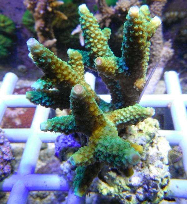 Arrivage coraux reeflab Coraux15