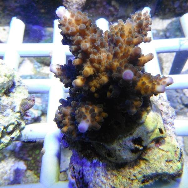 Arrivage coraux reeflab Coraux16