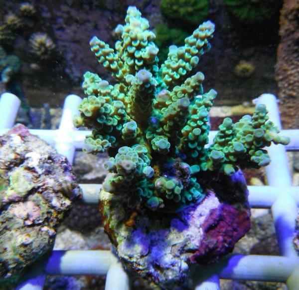 Arrivage coraux reeflab Coraux17