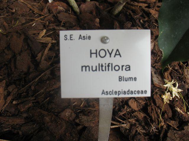 Hoya multiflora  du Jardin Bota. 250_du23