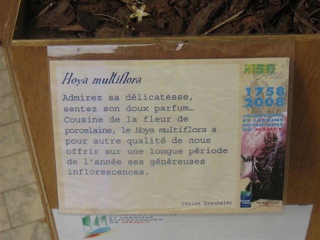 Hoya multiflora  du Jardin Bota. 250_du24