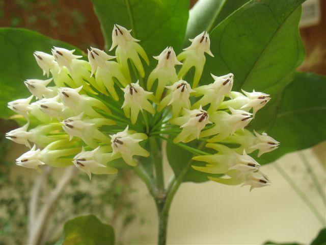 Hoya multiflora  du Jardin Bota. 250_du25