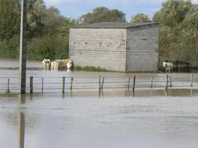 Vaches et inondation 4-10-010