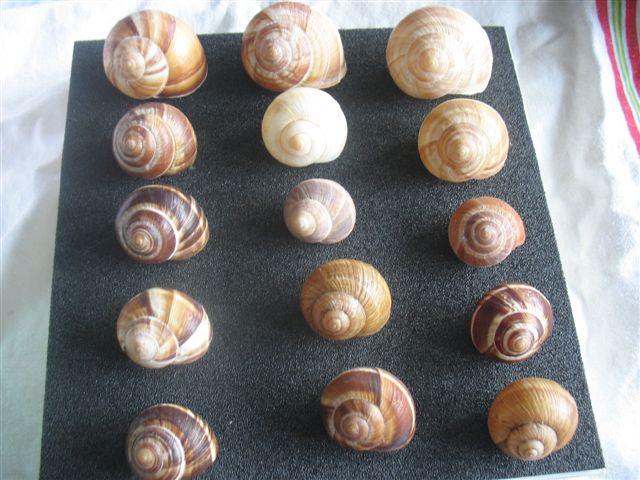 Escargots soit disant (Bourgogne) Escarg11