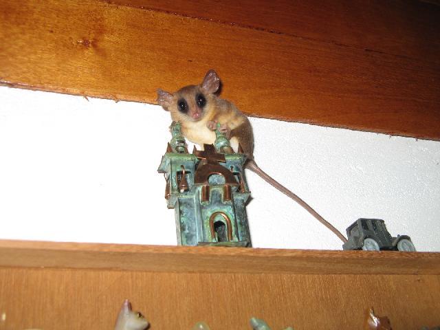 Marsupial (chez Kia) invité surprise Img66510