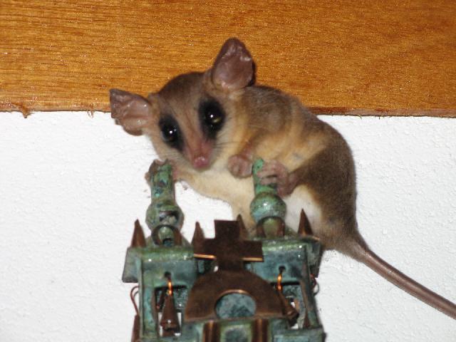 Marsupial (chez Kia) invité surprise Img66511