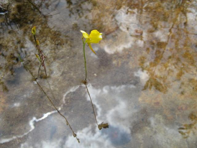 Orchidée d'eau de ma Lorette du Venezuela Img_7211
