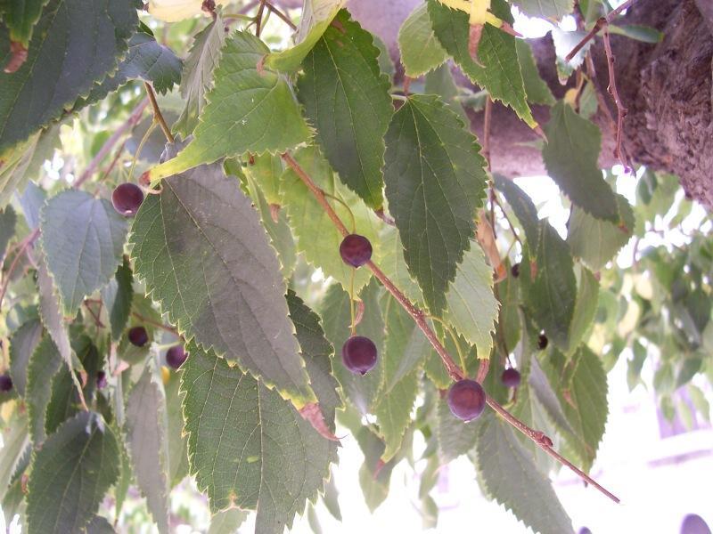 Quel est donc cet arbre? Celtis10