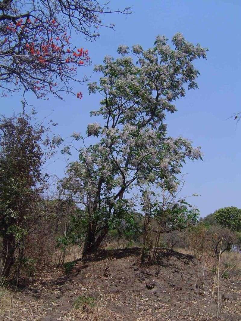 Quel est donc cet arbre? Melia_10