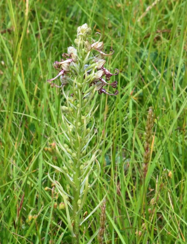 himantoglossum hircinum Img_4110