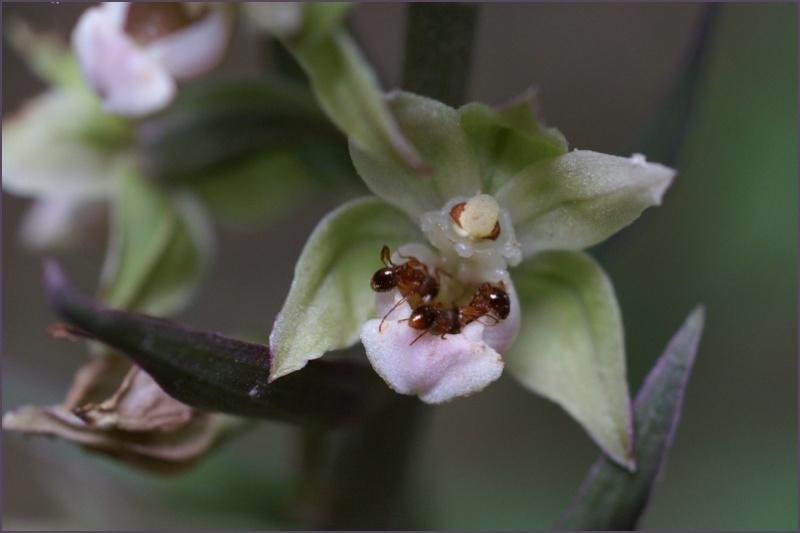 Epipactis purpurata ( Epipactis violacé ) Copie_27