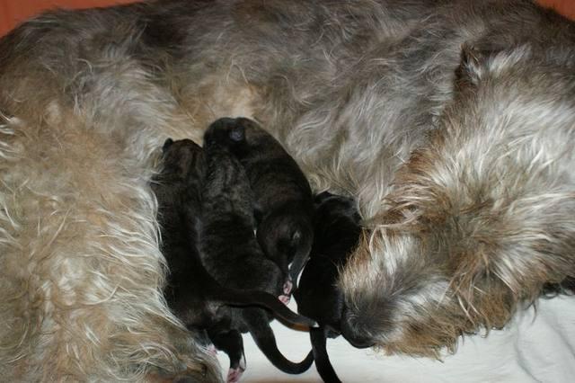 Viva Verdi Irish Wolfhound 2dido210