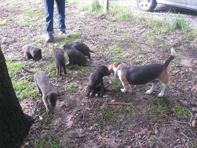 Viva Verdi Irish Wolfhound Img_3910