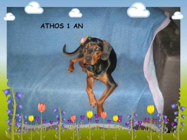 ATHOS, X KOPOV DE 10 MOIS EN FA CHEZ ISABELLE ( 77 ) - R -VV - LBC Atho10