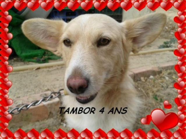 TAMBOR X WELSH CORGI A L'ADOPTION, EN FA CHEZ CAROLE (59) -VV-LBC-F-R-SC  AR - Page 2 Tambor10