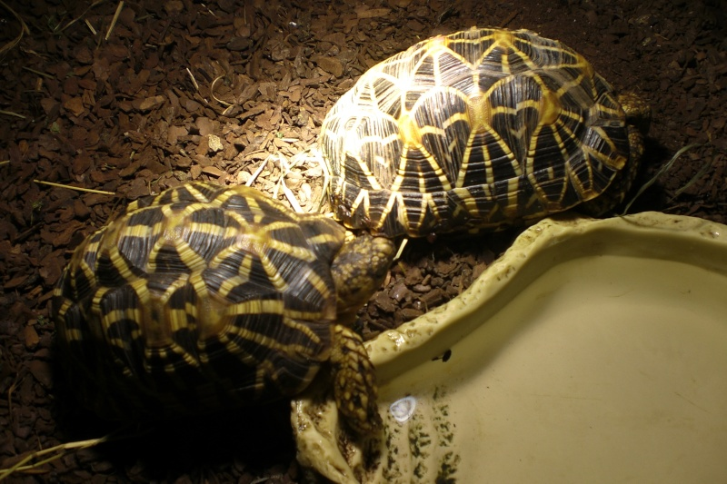tortues étoilées d'Inde, mâle ou femelle? 00310