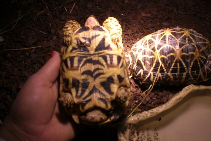 tortues étoilées d'Inde, mâle ou femelle? 00410