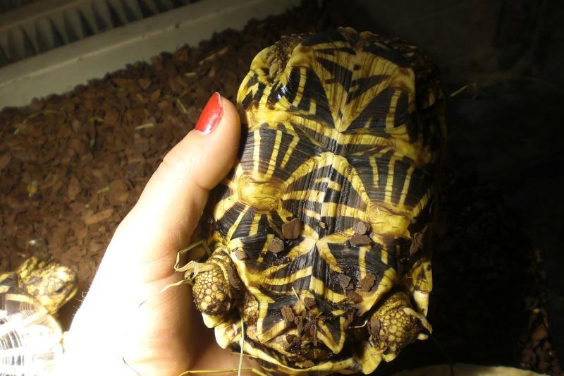 tortues étoilées d'Inde, mâle ou femelle? 00510