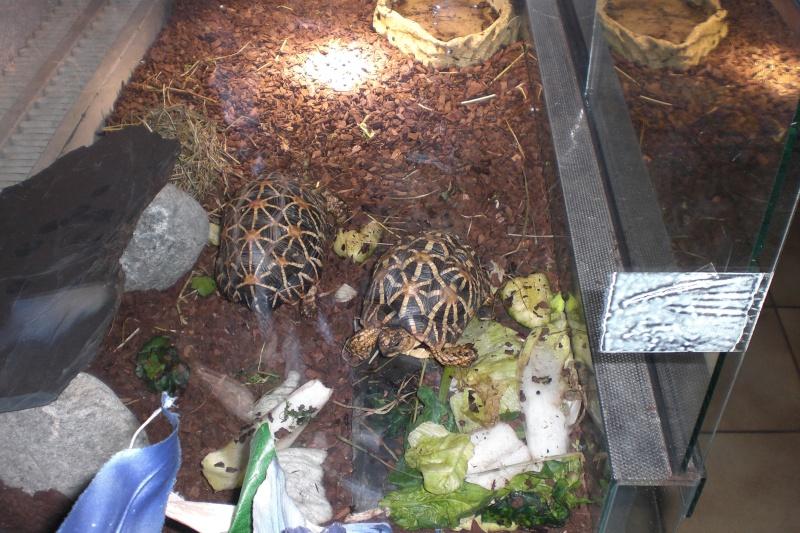 tortues étoilées d'Inde, mâle ou femelle? 00610