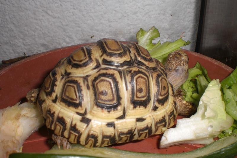 Identification tortue-léopard 009_310