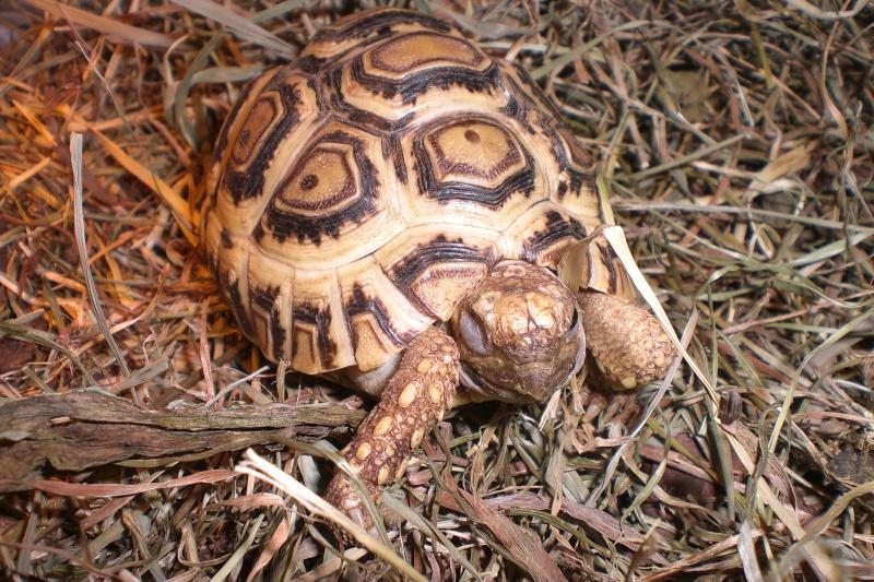 Identification tortue-léopard 010_310