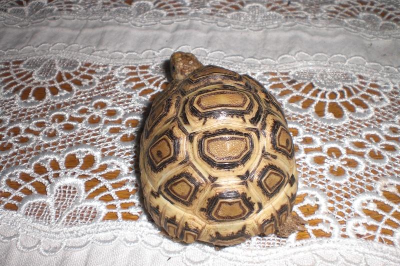 Identification tortue-léopard 012_311