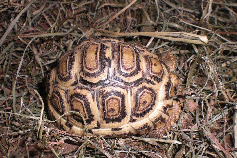 Identification tortue-léopard 01410
