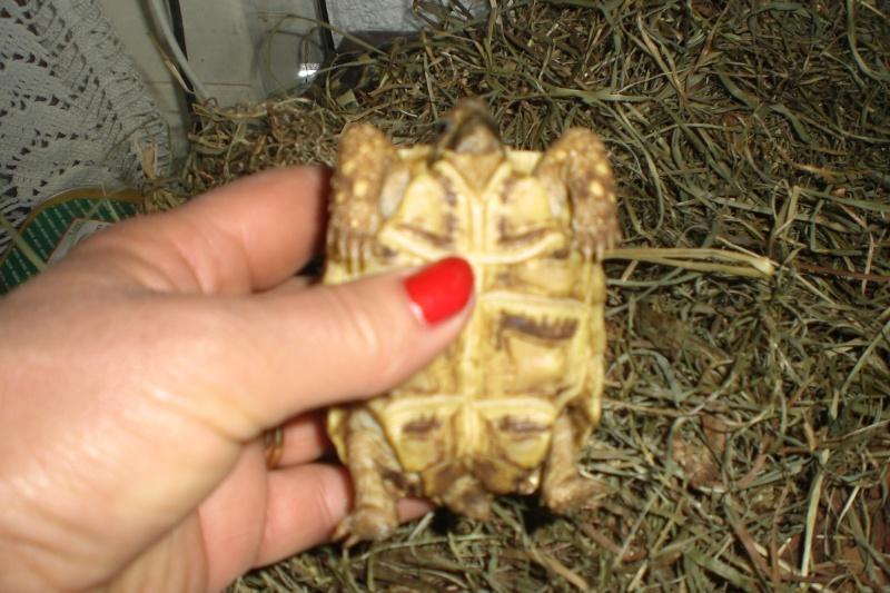tortues étoilées d'Inde, mâle ou femelle? 110