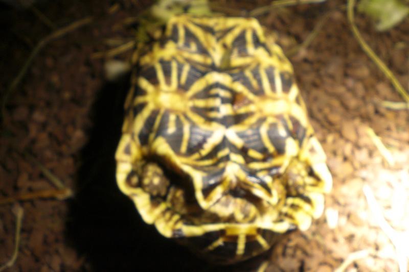 tortues étoilées d'Inde, mâle ou femelle? 310