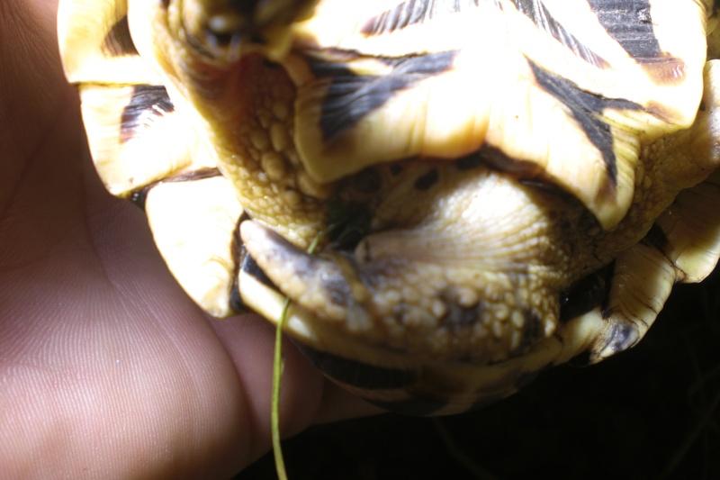 tortues étoilées d'Inde, mâle ou femelle? 410