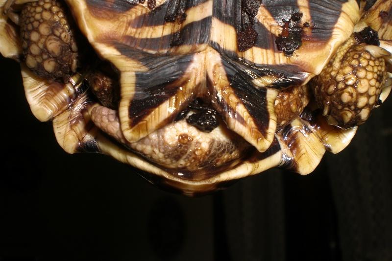 tortues étoilées d'Inde, mâle ou femelle? 510