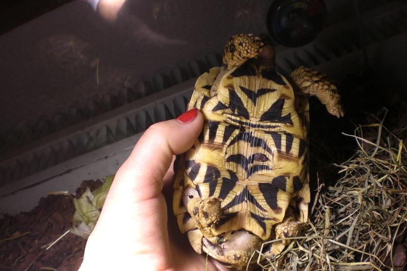 tortues étoilées d'Inde, mâle ou femelle? 610