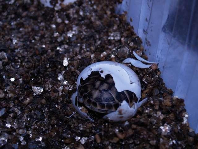 ça y est les premiers bébés hermannis naissent!! P7153813