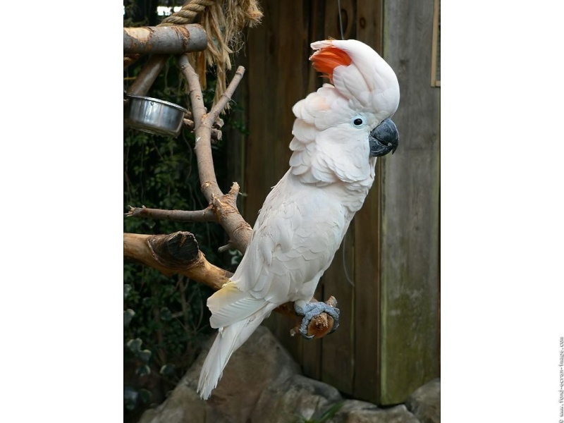 cacatoès génialissime !!!! Oiseau10