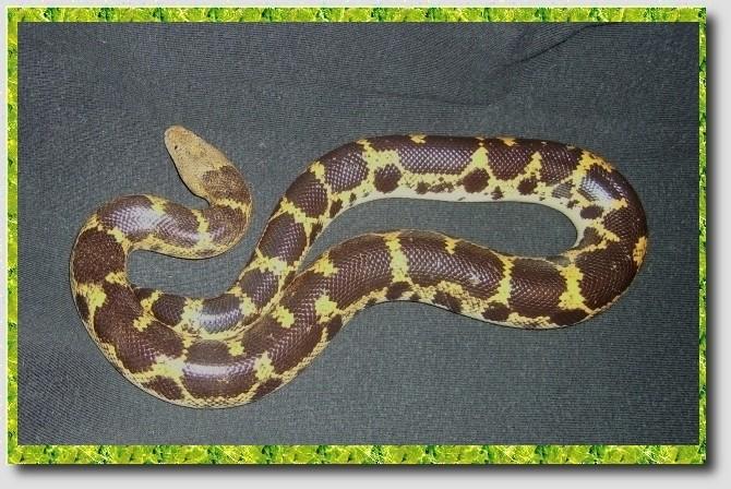 Mes reptiles Astie310