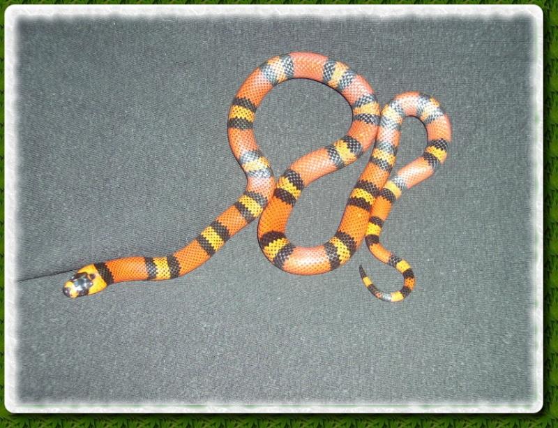 Mes reptiles Destin11
