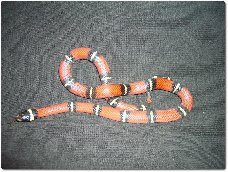 Mes reptiles Filou210